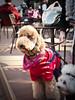 a big poodle (ymk.sato) Tags: tokyo f14 kern rx 25mm ep1 kichijyoji switar cmount