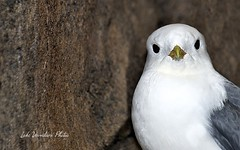 Red-Footed Kittiwake (Lake Vermilion1) Tags: bird alaska nikon resurrectionbay nikond7000 lakevermilionphotos redfootedkittiwake