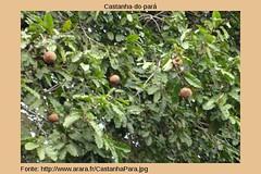 80castanha_para (josevitatapety_stingl) Tags: amaznia sade devastao amap castanhadopar castanheiros riquezadestruda riquezavegetalfontedeenergia