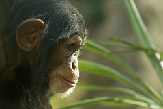 Nori's world (ucumari) Tags: november chimp north carolina chimpanzee primate nczoo nori greatape 2011 specanimal ucumariphotography dsc2035