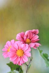 Blooming in autumn (pink mums) (tanakawho) Tags: pink autumn plant flower texture nature leaf dof bokeh layer chrysanthemum postproduction treatment skeletalmesstanakawho