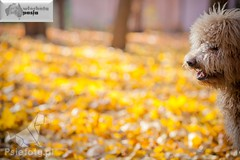 labradoodle Codi (Australijskie Labradoodle Wlochata Pasja) Tags: labradoodle dudle dogoterapia labradoodlepuppy australianlabradoodle szczenię allergyfriendly australischelabradoodle hypoalergiczne psydlaalergików labradoodleaustralijski psydoterapii