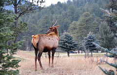 Elk at Evergreen Lake (Snap Man) Tags: animals colorado wildlife evergreen elk