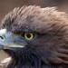 Golden Eagle 2c