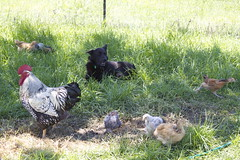 mocha helping bertie watch the chicks (cskk) Tags: blue dog black chicken silver gold sussex australia chick mocha nsw buff rooster bordercollie bertie currawong australorp wyandotte cockerel laced chook kelpie kelpiex plymothrock silverlacedwyandotte kelpiexbordercollie
