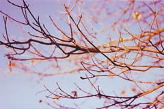 ~Paradise (fяαηcеѕcα❤) Tags: blue light sky tree vintage lomography sanmarino cielo tungsten analogue albero yashica rami pellicola analogico analogicait lomographyitalia