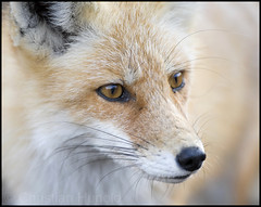 and ... the vixen (EXPLORED) (Christian Hunold) Tags: portrait mammal newjersey fox vixen redfox islandbeachstatepark habituated christianhunold