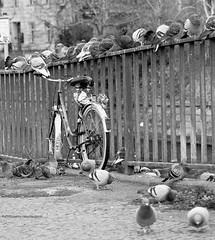 Berlin - Kreuzberg (GZZT) Tags: bw berlin bird birds bike germany de deutschland rad sw vögel taube fahrrad vogel tauben bln 030 drahtesel guessedberlin kottbusserbrücke gzzt martinbriese 06122011 20111206 gwbneukoellnbild