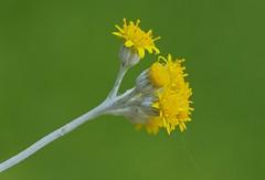 Mellow yellow (Deb Jones1) Tags: flowers flower macro green nature beauty yellow canon garden outdoors 1 jones flora explore bloom blooms deb flickrduel