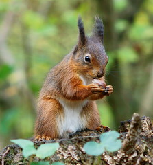 """""""To eat, or not to eat ... """" (Peter G Trimming) Tags: red nature squirrel reserve peter mead trimming isle wight iow vulgaris sciurus alverstone 23011"""