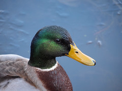 A Little Damp (btn1131 theromanroad.org) Tags: bird nature birds animals ed duck ducks olympus 40150mm epl1 mygearandme