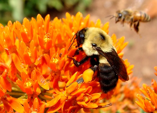 Large bee on butterflyweed, honeybee coming in for a landing