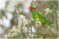 Musk-Lorikeet_K3C4845 (www.jeroenstel.com) Tags: birds photography wildlife australia musklorikeet parrots jeroenstel