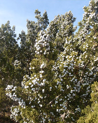 042 It Was A Berry Good Day (saschmitz_earthlink_net) Tags: california orienteering aguadulce vasquezrocks 2011 laoc losangelesorienteeringclub