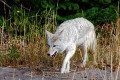 Yellowstone Wildlife (bhophotos) Tags: coyote travel usa nature animals geotagged nikon wildlife yellowstonenationalpark yellowstone wyoming ynp wy 18200mmf3556gvr d80