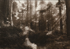 Kallitype Print - Redwoods (Zach Boumeester) Tags: california park trees light red film del analog digital creek 35mm 50mm woods nikon fuji state god alt iso trail negative coastal pro epson fujifilm neopan 100 redwoods rays asa 135 nikkor f18 process rodinal legacy sequoia alternative norte 2200 damnation lightray n90s sempervirens ohp altprocess kallitype afd godray figital r09 pictorico
