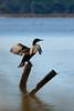 Phalacrocorax carbo 1.0 (Rob McFrey) Tags: sardegna italy parco bird nature animal fauna nikon italia sardinia natura rob roberto nikkor 70300mm birdwatching animali vr afs avifauna oristano 70300 sarda stagno phalacrocoraxcarbo d90 cormorano f4556 senaarrubia nikkor70300mmf4556gedvr mcfrey defraia