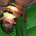 Tena - Dirphia Moth ♀ Shaking Off Cocoonshell