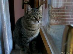 Sguardi riflessi (Alessandro Di Stefano) Tags: pets natura occhi sguardo riflessi gatti animali