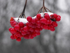 Frozen fruits in winter (pegase1972) Tags: fruits canada québec winter frozen red nspp licensed getty exclusive