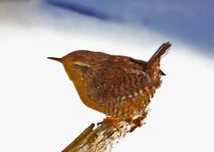 CAB04271a (jerryoldenettel) Tags: bird wren nm troglodytes 2012 passeriformes passerine troglodytidae bernalilloco pacificwren troglodytespacificus