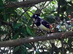 Parque Nacional Iguaz - Urraca (Gaby Fil ) Tags: argentina brasil misiones iguaz patrimoniodelahumanidad fozdoigua ph039 maravilladelmundo litoralargentino