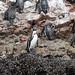 Alcuni pinguini di Humboldt