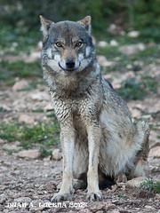 LOBO 3 (FOTOLUCENA) Tags: wild naturaleza nature animal wolf sony alfa lobo lucena iberico iberic salvaje a700 fotolucena