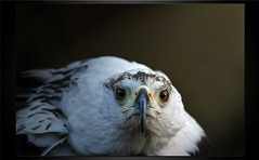 Peeka-......Bo ................ (A.J.Pendleton-Lightbox 2008) Tags: bird nature birds closeup canon raptor upclose birdsofprey canon40d naturethroughthelens blinkagain