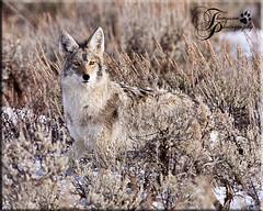 MG2_2048 (jmthompsonphoto) Tags: coyote winter wildlife wyoming antelopeflats canislatrans photocontesttnc12