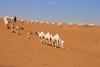 Trip of Camels (TARIQ-M) Tags: texture landscape sand waves desert dunes camel camels convoy riyadh saudiarabia بر الصحراء جمال الرياض صحراء رمال جمل ابل رمل canonef70200mmf4lusm طعس كانون نياق المملكةالعربيةالسعودية الرمل ناقة خطوط صحاري canoneos5dmarkii نفود الرمال كثبان براري تموجات تموج نفد tripofcamels