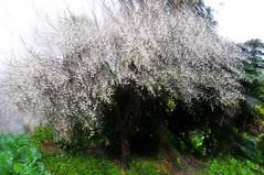 Plum snow  (Mel@photo break) Tags: china white plant tree spring plum mel melinda panning  huidong chanmelmel  melindachan