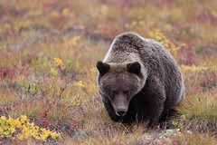 "Grizzly, Richardson Mountains, Nodwest-Territorium, Kanada • <a style=""font-size:0.8em;"" href=""http://www.flickr.com/photos/73418017@N07/6730321505/"" target=""_blank"">View on Flickr</a>"
