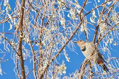 Flickr (Anda74) Tags: bird woodpecker december crop flicker northerflicker canonef70200mmf4lusm