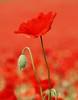 Red Poppies (GTX7) Tags: d80 flower poppy red poppies coth coth5 doublefantasy garden persephonesgarden nikond80 nikon flowers nature flowerbud redflower fieldpoppy poppyday