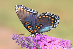 Red Spotted Purple (DrPhotoMoto) Tags: blue orange butterfly northcarolina iridescence mimic picnik richmondcounty tfi limenitisarthemis redspottedpurple limenitisarthemisastyanax thinfilminterference panoramafotogrfico frequencywaves pipevineswallowtailmimic