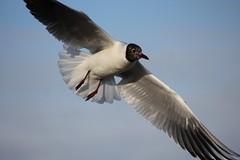 passte nicht ganz... (♥ ♥ ♥ flickrsprotte♥ ♥ ♥) Tags: strand gulls ostsee möwen kiel falkenstein vogel flickrsprotte