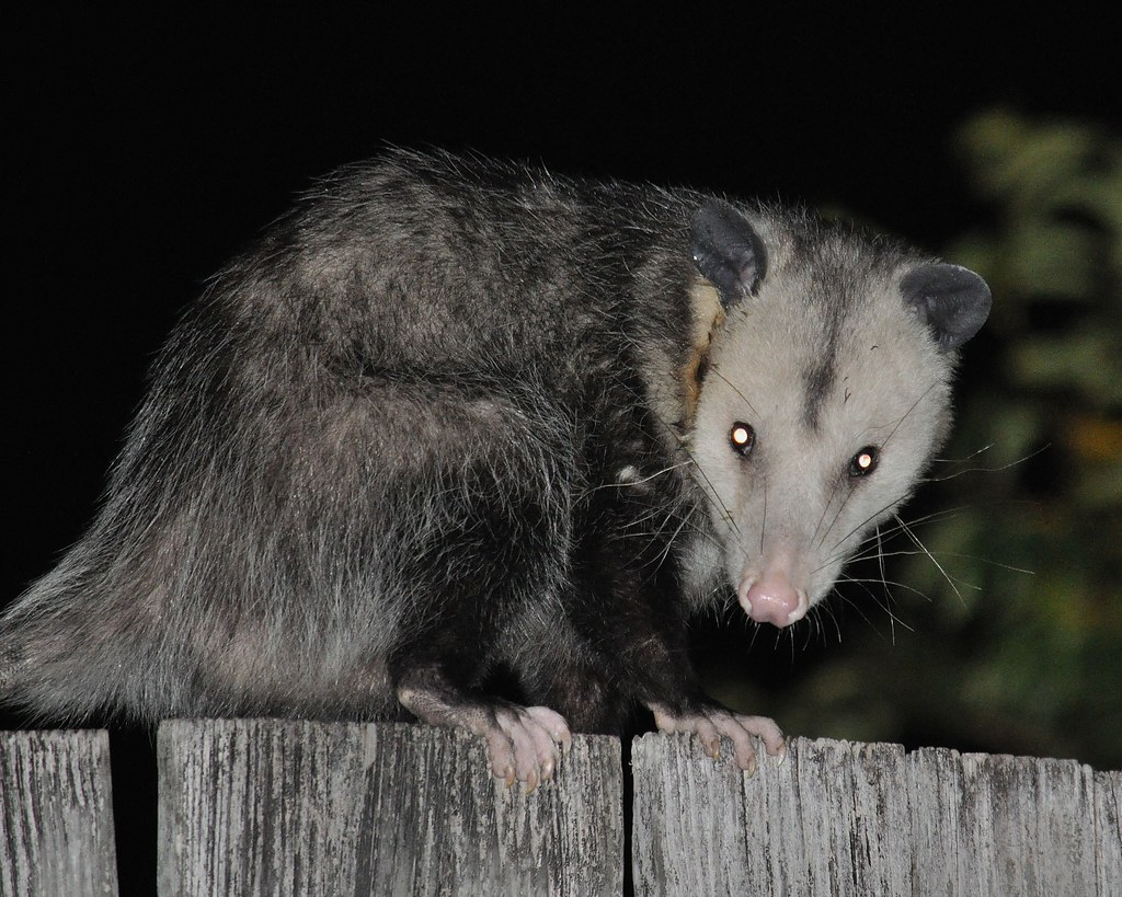 the world u0027s best photos of backyard and possum flickr hive mind