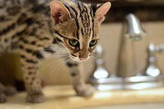 asian leopard cub (Laurarama) Tags: cat asian exotic leopard faucet species endangered odc nikond7000 nikkor50mm18g collectionp