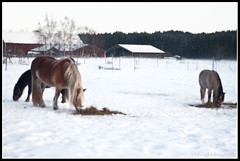 Horses (mmoborg) Tags: winter snow cold kyla vinter sweden sverige snö 2012 mmoborg mariamoborg