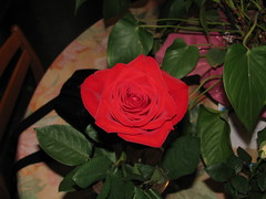 Rose () Tags: flower fleur rose   fullbloom floraison