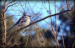 Bird - Blue Jay (blmiers2) Tags: bird birds nikon bokeh bluejay explore explored d3100 blm18 blmiers2