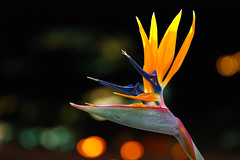 Bird Of Paradise Flower (Kartik J) Tags: california flower bird birds closeup paradise bokeh sony dslr irvine a500 of sonyalphadslr sal18250