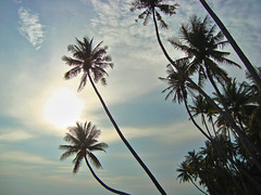 Palm trees, Muine, Vietnam (Ferry Vermeer) Tags: sun sunlight nature asia southeastasia day cloudy vietnam palmtree tropical palmae tropics indochine indochina vietname muine viêtnam ベトナム arecaceae arecales vietnã wietnam việtnam 越南 binhthuan mũiné fietnam binhthuanprovince southeasternasia ヴェトナム 베트남 palmaceae bìnhthuận vietnamas vjetnamio ויאטנם indochinesepeninsula 월남 vjetnam vjetnama виетнам вьетнам βιετνάμ regionwide viëtnam vijetnam indochinapeninsula вєтнам southeastvietnam indochineseregion đôngnambộ indochinaregion southeasternvietnam biyetnam 윁남 bhietnam piinnama vienami вијетнам