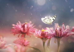 perhaps (twomeows (away...)) Tags: pink white nature canon butterfly garden soft dof pastel dream 200mm zaina 50d
