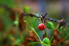 Forbiden Fruit (Vividplus) Tags: red nature fruit bokeh forbidden redfruit