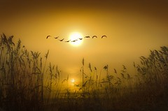 Silent Wings (adrians_art) Tags: winter plants mist water birds fog sunrise reflections reeds flight silhouettes rivers skiens