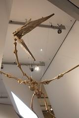 Quetzalcoatlus (createttea) Tags: museum fossil dinosaur rom pterosaur quetzalcoatlus