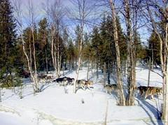 Brrrr -  arrivato il freddo! (La minina) Tags: winter snow cold suomi finland lapland neve inverno finlandia dogsled lapponia fafreddoanchequi ginordicjan12 dallepartidilevi slittaguidatadaicani