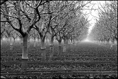 Nut Trees (greenthumb_38) Tags: trees blackandwhite bw blackwhite farm central farmland valley farms duotone sanjoaquin centralvalley sanjoaquinvalley nuttrees jeffreybass